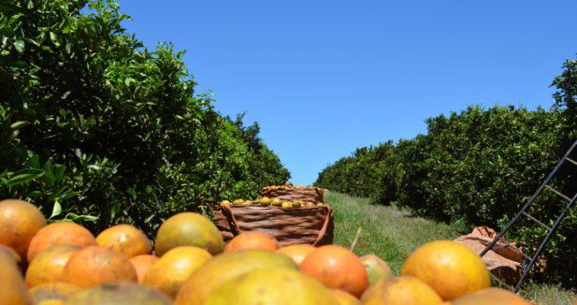 Safra de laranja é a 4ª maior em 30 anos